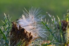 Fluffy seeds dispersing from a thistle plant. royalty free stock photo