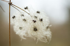 Fluffy seeds liane pods clematis. Soft vitalba fluffy seeds liane pods clematis Royalty Free Stock Images