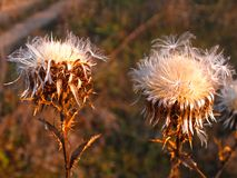 Fluffy seeds of thistle royalty free stock images