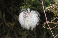 Fluffy seeds to plant buscema Royalty Free Stock Photos