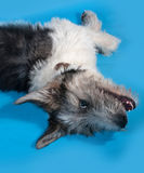 Fluffy shaggy gray dog with spots lying on blue. Background Royalty Free Stock Image