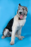 Fluffy shaggy gray dog with spots is sitting on blue Stock Photo