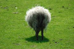Fluffy sheep. A grazing and very fluffy sheep on a green meadow Royalty Free Stock Photos
