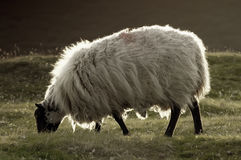 Fluffy sheep. In evening backlight Royalty Free Stock Photos