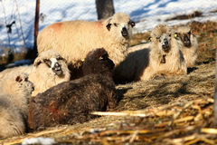 Fluffy Sheep. Curious fluffy sheep staring and posing for the photographer, Romania Royalty Free Stock Photo