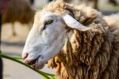 Fluffy sheep eating food Royalty Free Stock Photo