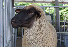 Fluffy sheep remains in the pen Stock Photo