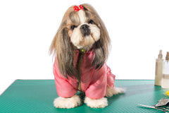 Fluffy shih-tzu at the groomer table in pink dog costume. Isolated on white stock photos