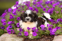 Fluffy Shih Tzu puppy laying in flowers Royalty Free Stock Photo
