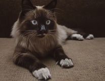 Fluffy Siamese cat Stock Images