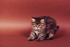 Fluffy Siberian cat  on a brown background.  Stock Photo