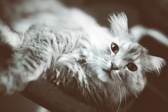 Fluffy siberian cat Stock Photos