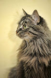 Fluffy Siberian cat Stock Images