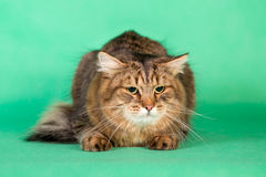 Fluffy Siberian cat on green background Stock Images