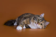 Fluffy Siberian cat isolated on a brown background Royalty Free Stock Images