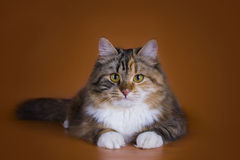 Fluffy Siberian cat isolated on a brown background Stock Photography