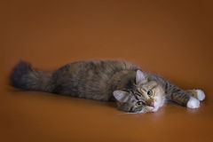 Fluffy Siberian cat isolated on a brown background Stock Photos
