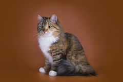Fluffy Siberian cat isolated on a brown background Royalty Free Stock Image