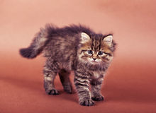 Fluffy Siberian cat isolated on a brown background.  Royalty Free Stock Photo