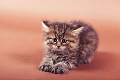Fluffy Siberian cat isolated on a brown background.  Stock Photo