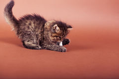 Fluffy Siberian cat isolated on a brown background.  Stock Image
