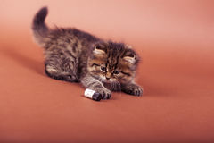 Fluffy Siberian cat isolated on a brown background.  Stock Images