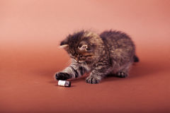Fluffy Siberian cat isolated on a brown background.  Royalty Free Stock Photography