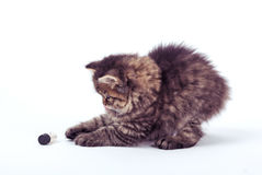 Fluffy Siberian cat isolated on a white background.  Royalty Free Stock Image