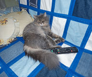 Fluffy siberian cat lying on the sofa. Remote control near Stock Photos
