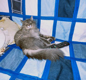 Fluffy siberian cat lying on the sofa Stock Images