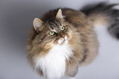 Fluffy Siberian cat sitting on a gray studio background and looking up, top view of beautiful pet royalty free stock image