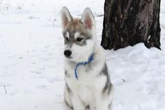 Fluffy Siberian husky Stock Photos