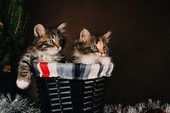 Fluffy siberian kittens with Christmas decorations. Brown background stock photo
