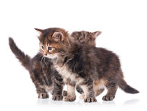 Fluffy siberian kittens Stock Image