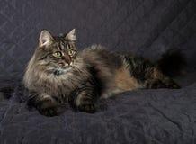 Fluffy Siberian tabby cat lying on quilt Stock Images
