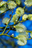Fluffy silky catkins close-up. Superb quality of L-lense, soft bokeh, rich colors Stock Image