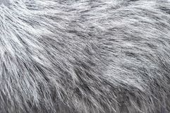 Fluffy silver fox fur background. Texture of gray fur closeup photo