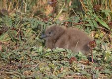 Fluffy Skua Chick Amongst Greater Burnet Plants. Close up of a fluffy skua chick with brown down and a large dark brown beak. The chick is sitting among greater Royalty Free Stock Images