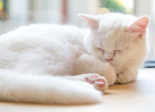 Fluffy sleeping cat Royalty Free Stock Images