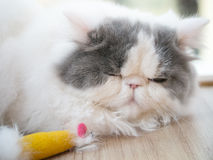 Fluffy sleeping cat Royalty Free Stock Image