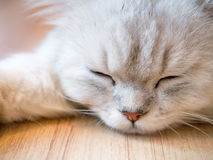 Fluffy sleeping cat Stock Image