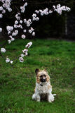 Fluffy small dog is lying on a green grass. little dog in the sp. Ring time Stock Image