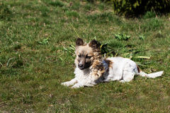 Fluffy small dog is lying on a green grass. Little dog in the spring time Royalty Free Stock Images