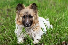 Fluffy small dog is lying on a green grass. Little dog in the spring time Royalty Free Stock Photo