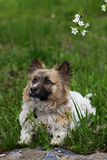 Fluffy small dog is lying on a green grass. Little dog in the spring time Stock Photo