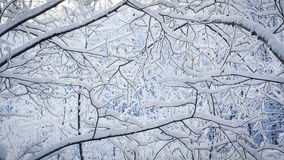 Fluffy snow on branches in nothern forest Royalty Free Stock Photos