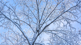 Fluffy snow on branches of tree Royalty Free Stock Image