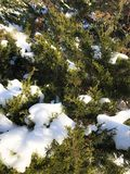 Fluffy snow on evergreen branches Royalty Free Stock Photos