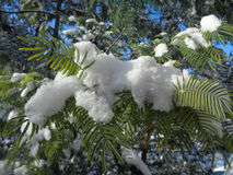 Fluffy snow on green leaves of mimosa tree. Snow on mimosa tree branches Royalty Free Stock Images