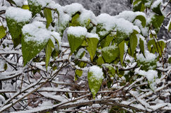 Fluffy snow on the green leaves Stock Photos